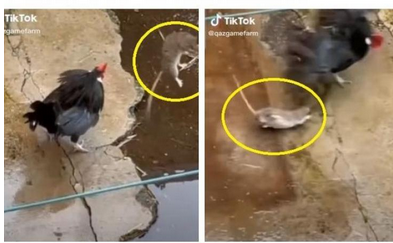 Video-Ayam-vs-Tikus-Menakjubkan-Netizen-Lebih-Seru-dari-Mortal-Kombat